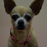 Chihuahua Mix Dog for adoption in Gridley, California - Tina