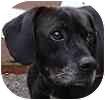 Pointer/Labrador Retriever Mix Dog for adoption in Hamilton, Ontario - Bobby