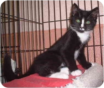 Domestic Shorthair Kitten for adoption in Honesdale, Pennsylvania - PJ