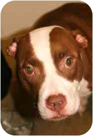 American Pit Bull Terrier Mix Dog for adoption in Walker, Michigan - Sookie