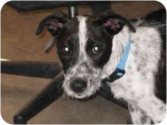 Australian Cattle Dog Mix Puppy for adoption in Rock Springs, Wyoming - Nova