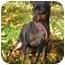 Photo 2 - Miniature Pinscher Puppy for adoption in Chicago, Illinois - Roxie