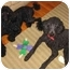 Photo 1 - Standard Poodle Dog for adoption in Loudonville, New York - Max