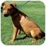 Photo 3 - Labrador Retriever/Australian Cattle Dog Mix Puppy for adoption in Olive Branch, Mississippi - Susie Q