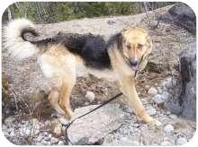 German Shepherd Dog Mix Dog for adoption in Ste-Agathe des Monts, Quebec - Berlioz
