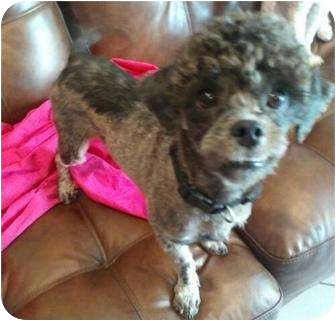 Poodle (Toy or Tea Cup) Mix Dog for adoption in New Jersey, New Jersey - FL - Coco