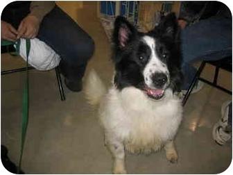 Border Collie/Keeshond Mix Dog for adoption in Elwood, Illinois - Tucker XXX URGENT