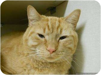 Domestic Shorthair Cat for adoption in Morden, Manitoba - Odie