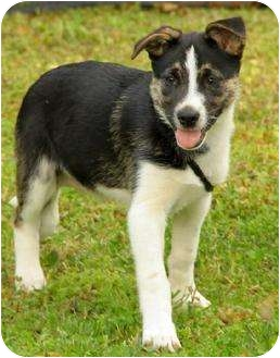 Husky/Shepherd (Unknown Type) Mix Puppy for adoption in Spring Valley, New York - Bianca