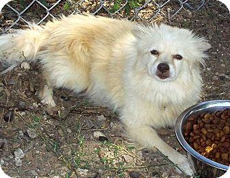 Pomeranian Dog for adoption in Bandera, Texas - 12-3450