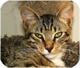 Domestic Shorthair Cat for adoption in El Cajon, California - Bacio