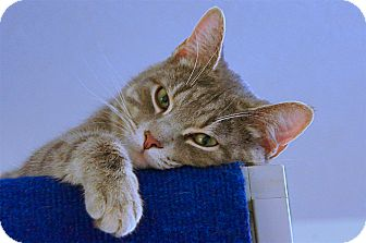 American Shorthair Cat for adoption in Victor, New York - Capo