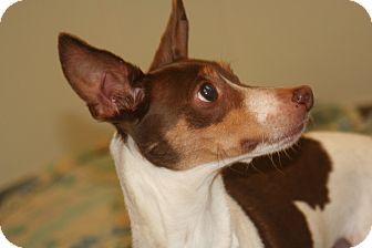 Rat Terrier Dog for adoption in Ponderay, Idaho - Lightning