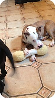 Pit Bull Terrier Mix Puppy for adoption in Pittsburgh, Pennsylvania - Tanner