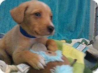 Labrador Retriever Mix Puppy for adoption in Waldorf, Maryland - Cooper #437