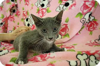 Domestic Shorthair Kitten for adoption in Fountain Hills, Arizona - GREYSON