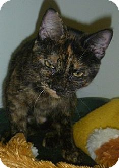 Domestic Shorthair Cat for adoption in Hamburg, New York - Talia