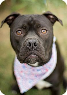 Pit Bull Terrier Mix Dog for adoption in Pilot Point, Texas - HARLEY
