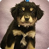 Adopt A Pet :: Libby - Broomfield, CO