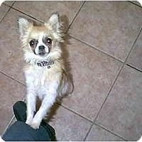 Adopt A Pet :: Gizmo - dewey, AZ