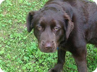 Australian Shepherd/Labrador Retriever Mix Dog for adoption in Hixson, Tennessee - Teddy