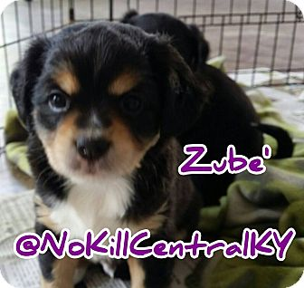 Cocker Spaniel/Beagle Mix Puppy for adoption in Lancaster, Kentucky - Zube'