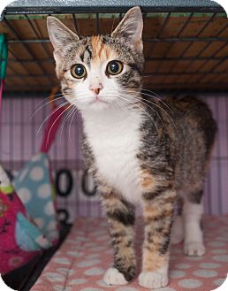 Domestic Shorthair Kitten for adoption in Shelton, Washington - Tabitha
