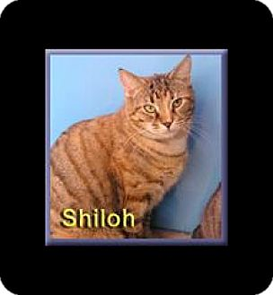Domestic Shorthair Cat for adoption in Aldie, Virginia - Shiloh