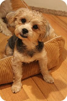 Yorkie, Yorkshire Terrier Mix Dog for adoption in Bedminster, New Jersey - Clover