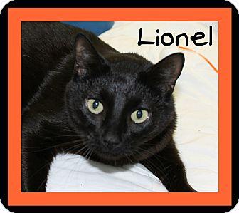 Domestic Shorthair Cat for adoption in Covington, Louisiana - Lionel