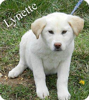 Labrador Retriever/Australian Shepherd Mix Puppy for adoption in Lawrenceburg, Tennessee - Lynette