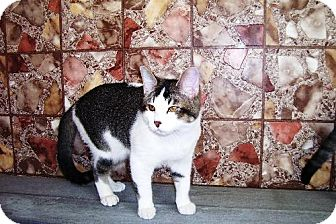 Domestic Shorthair Kitten for adoption in Las Cruces, New Mexico - Reggie