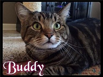 Domestic Shorthair Cat for adoption in Maumelle, Arkansas - Buddy - Foster / 2015
