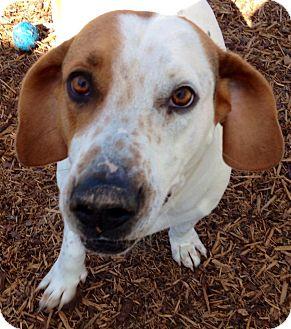 Basset Hound/Jack Russell Terrier Mix Dog for adoption in Blue Ridge, Georgia - Charlie