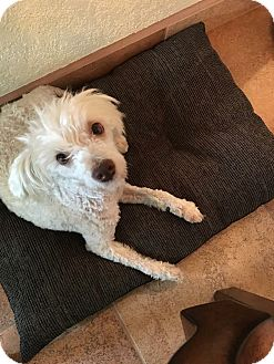 Poodle (Miniature) Mix Dog for adoption in San Diego, California - Betty