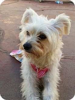Maltese/Terrier (Unknown Type, Small) Mix Dog for adoption in Los Angeles, California - Elsa
