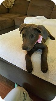 Labrador Retriever/Weimaraner Mix Puppy for adoption in East Windsor, Connecticut - SOPHIE-adoption pending
