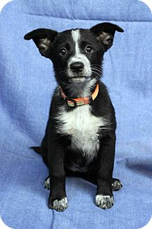 Australian Shepherd/Collie Mix Puppy for adoption in Westminster, Colorado - BEA