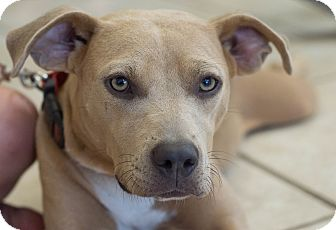 Mountain Cur/Shepherd (Unknown Type) Mix Dog for adoption in Cleveland, Oklahoma - Keera $50 ADOPTION FEE