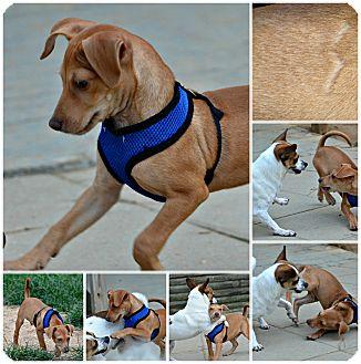 Dachshund Mix Puppy for adoption in Siler City, North Carolina - Riley