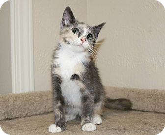 Domestic Shorthair Kitten for adoption in Edmond, Oklahoma - Ethel