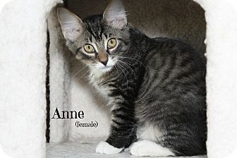 Domestic Shorthair Kitten for adoption in Glen Mills, Pennsylvania - Anne