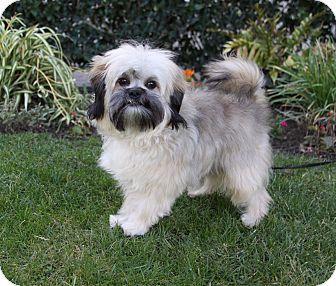 Shih Tzu Mix Puppy for adoption in Newport Beach, California - PHIPPS