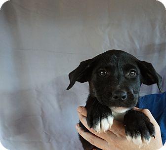 Labrador Retriever/Golden Retriever Mix Puppy for adoption in Oviedo, Florida - Ava