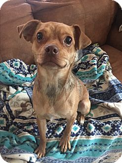 Chihuahua/Pug Mix Dog for adoption in Stahlstown, Pennsylvania - Annie