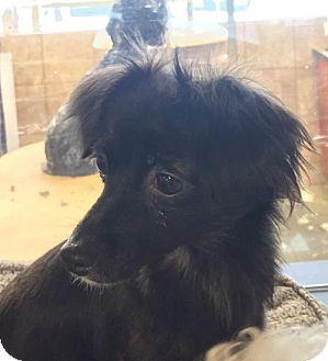 Papillon/Dachshund Mix Dog for adoption in Long Beach, California - Jenny O