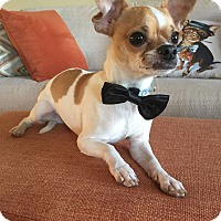 Chihuahua Mix Dog for adoption in Flossmoor, Illinois - Mugsy