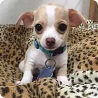 Adopt A Pet :: Peter - Vacaville, CA