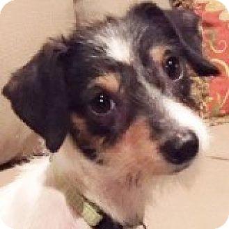 Dachshund Mix Puppy for adoption in Houston, Texas - Casey Camaro