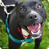 Adopt A Pet :: Gumball - Reisterstown, MD